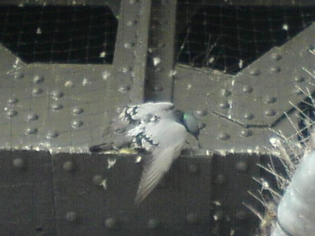 Taube Netz